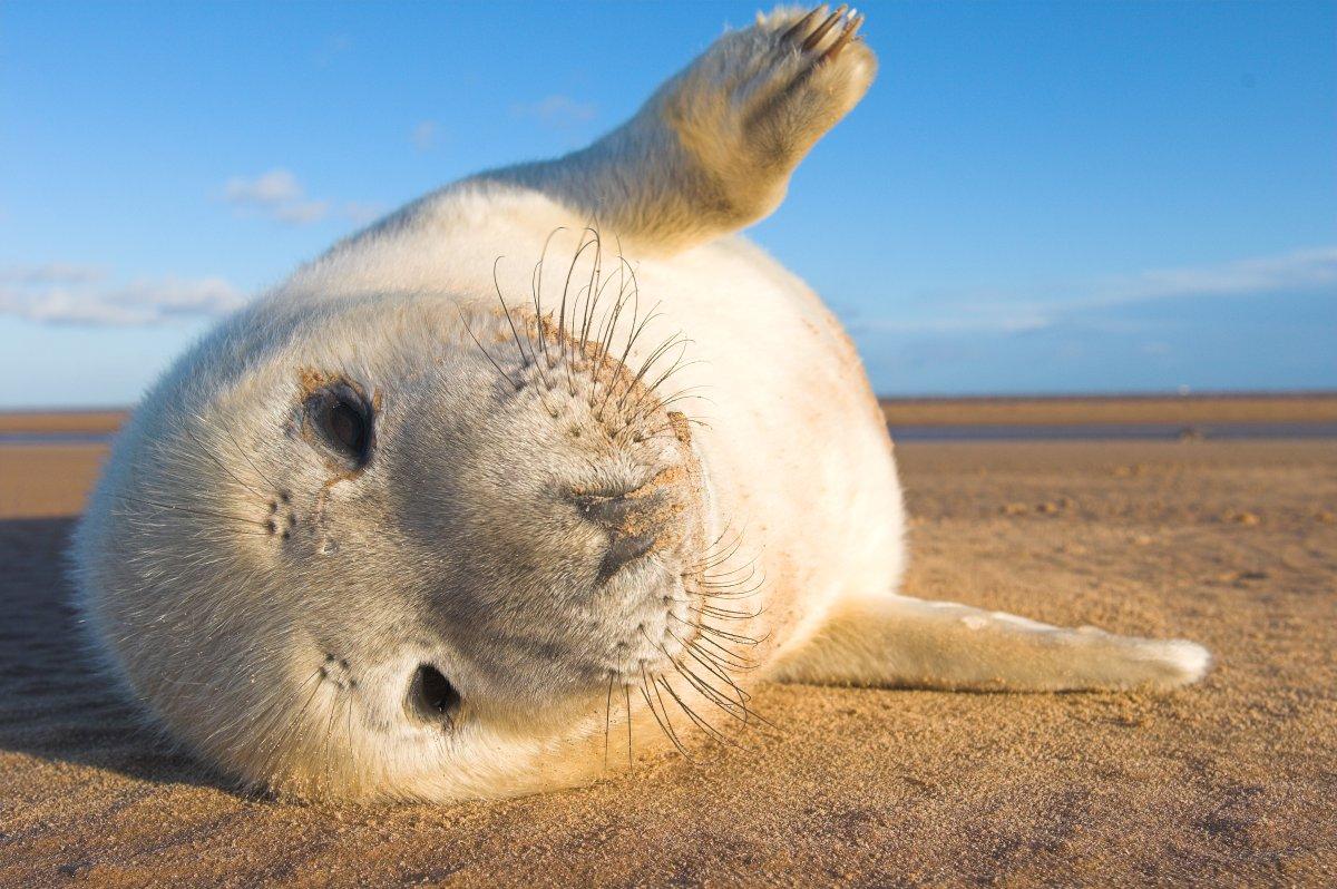 Grey Seal (Halichoerus grypus) (Photo: Yves Adams / Vilda)